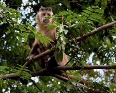 Macaco-prego do parque Areião-Goiânia-GO