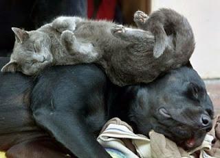 Funny Lazy Dog & Cat
