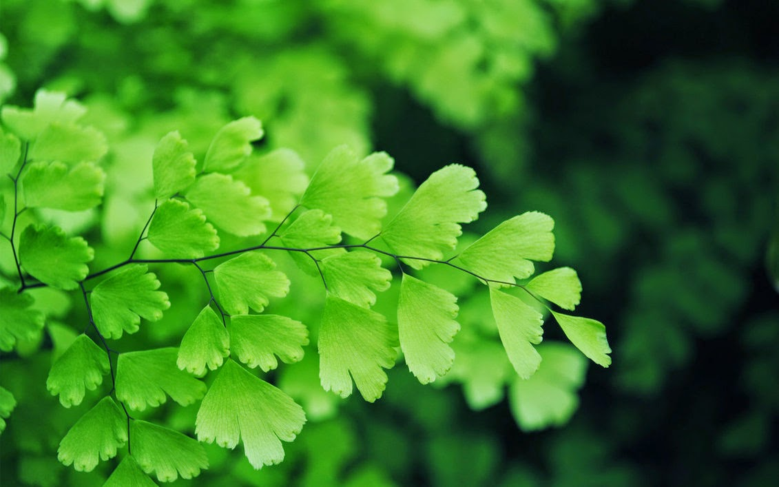 Benefits Of Maidenhair Fern (Adiantum Capillus-veneris) For Health