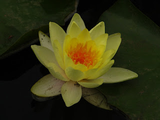 Types of flowers exotic yellow water lily flowers types of yellow water lily flowers mightylinksfo