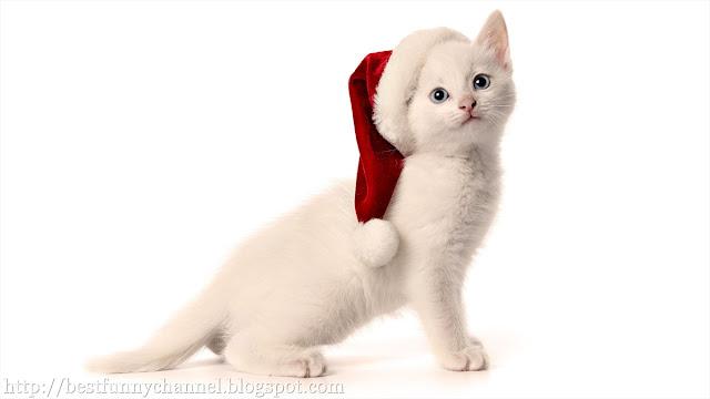 White kitten in a  Christmas cap