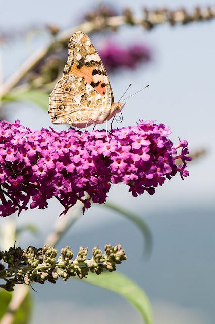 Vanessa cardui Osatnik pozira na metuljniku