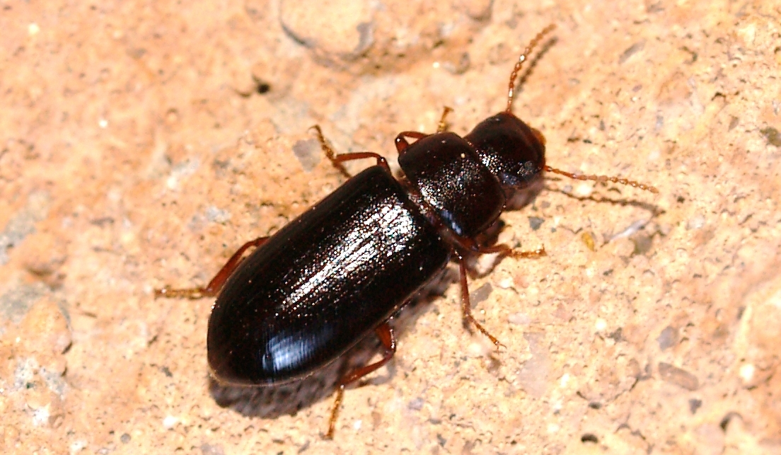 A few days ago I ran light traps in our drive way here in Picture Rocks   Arizona  A narrow  shiny black beetle with relatively thin antennae was  running. Arizona  Beetles  Bugs  Birds and more  Comedy of Errors   the