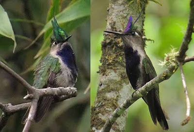 Green-crowned Plovercrest and Violet-crowned Plovercrest