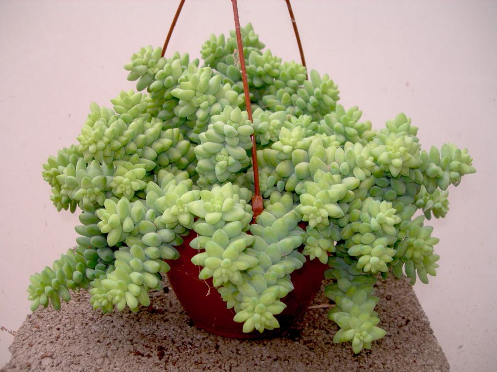 Plantas de hojas perennes - Plantas crasas colgantes ...