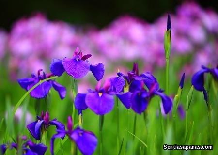 Bunga Iris