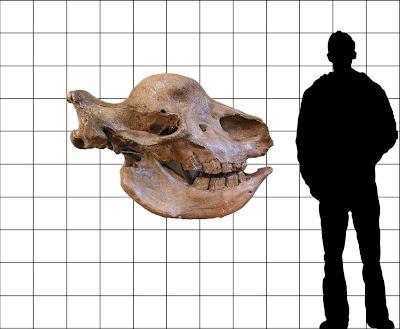 Elasmotherium skull