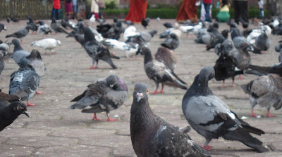 pigeon looking at the camera