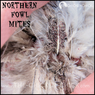 Northern Fowl Mites on Chicken vent feathers via www.The-Chicken-Chick.com
