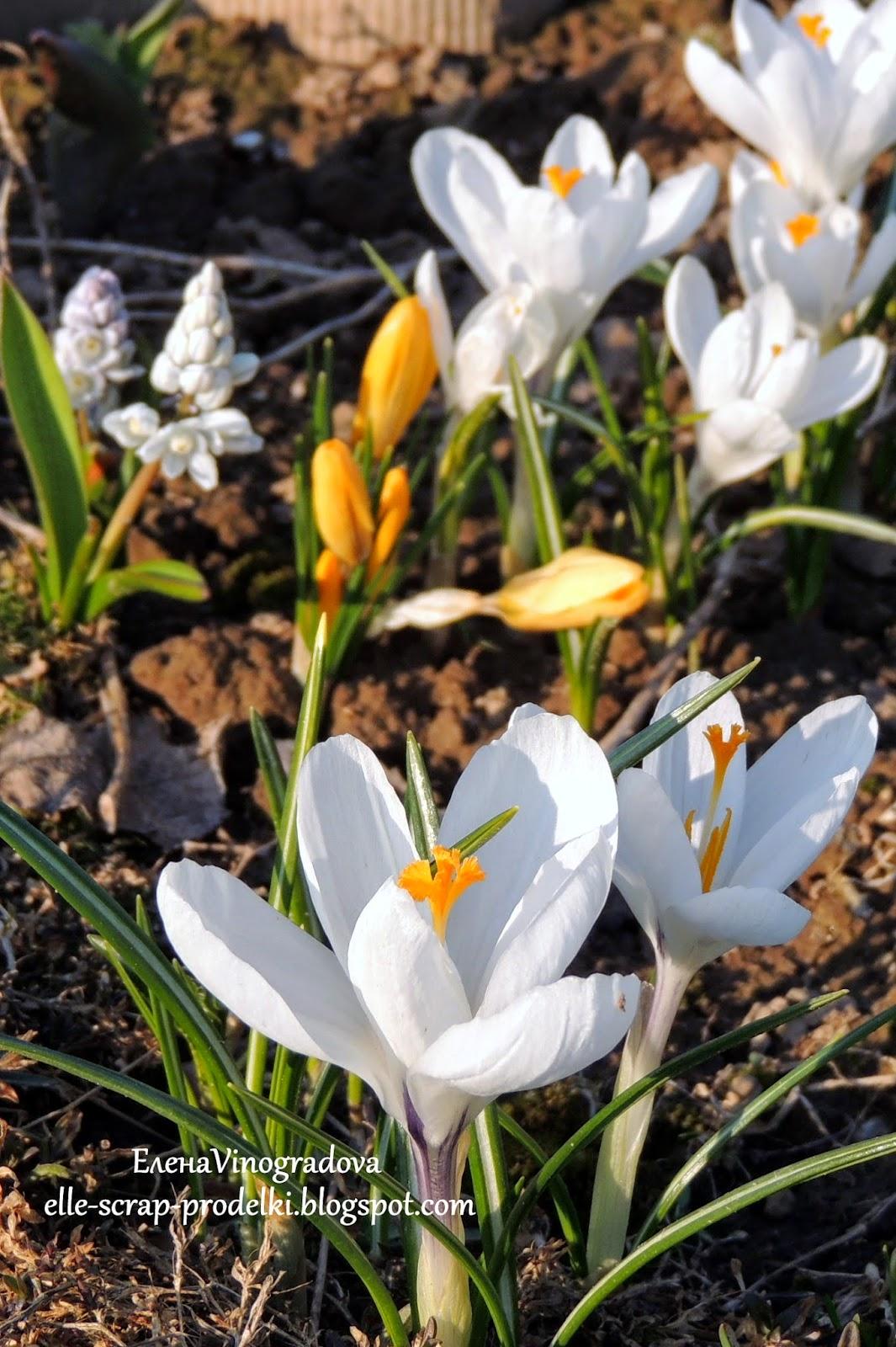 ЕленаVinogradova. Цветы нашего сада #6