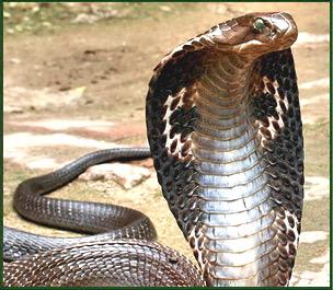 sperm King cobra
