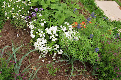 Annieinaustin,paintbrush, blackfoot daisies,phlox