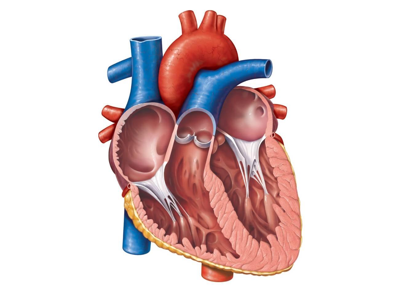 http://2.bp.blogspot.com/-0DftKe7pDvk/TanlQ0gO5VI/AAAAAAAAAOY/DC7Esf1hfps/s1600/heart%20chambers.jpg