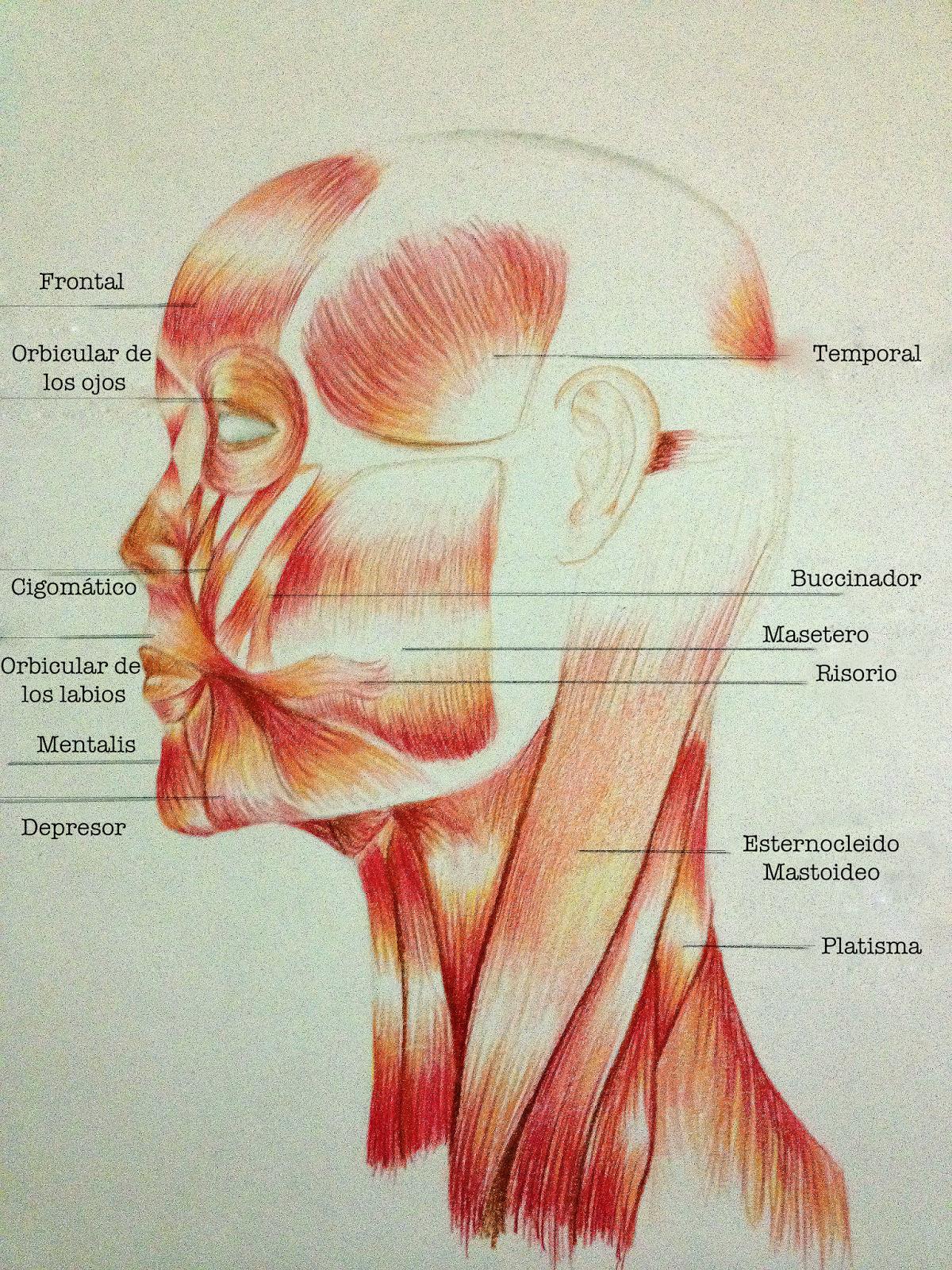 MavirieArt: Los Músculos: La cara