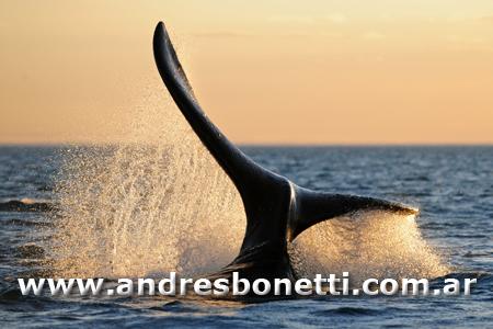 Cola de Ballena Franca Austral - Tail of Southern Right Whale - Península Valdés - Patagonia - Andrés Bonetti 2