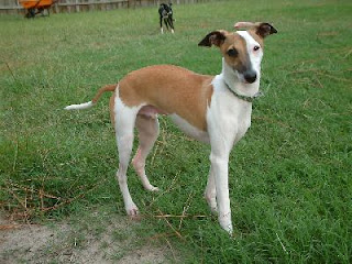 Italian Greyhound Dog Pictures