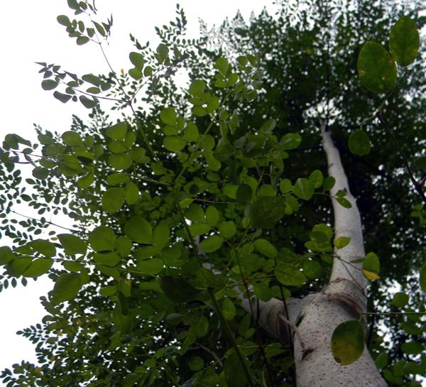 moringa farming A kzn husband and wife team are growing and distributing the highly nutritious moringa tree amongst the  moringa: superfood for the hungry  farming moringa.