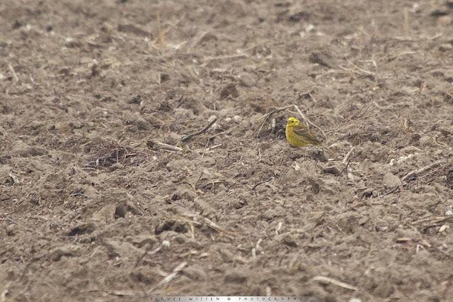 Geelgors - Yellowhammer - Emberiza citrinella