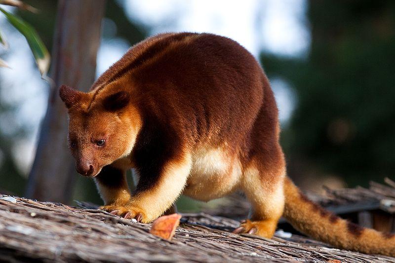 Kangguru pohon memiliki ukuran tubuh yang lebih kecil dibandingkan kangguru biasanya