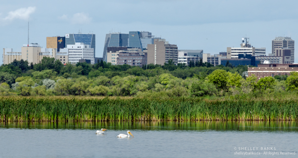American Pelicans in Wascana Lake, with a view of the City of Regina beyond © Shelley Banks, all rights reserved