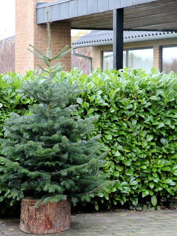 Juletræ på stub