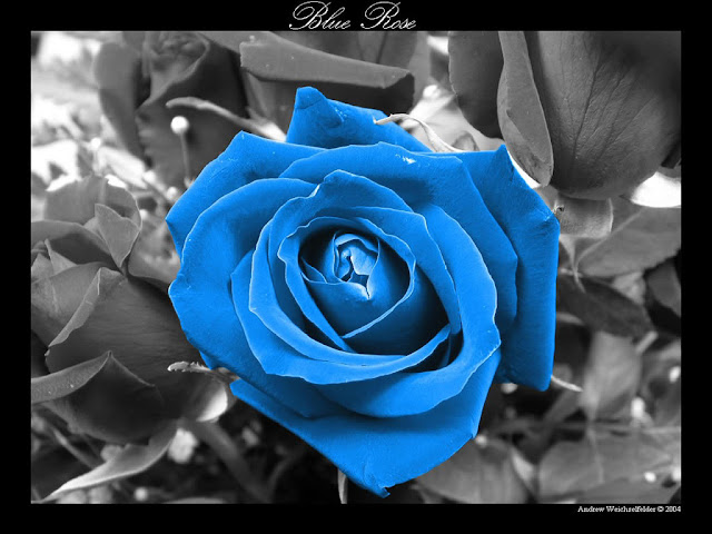 ��� ��� ��� ���� 2013, ��� ����� ��� ���� 2013 free-light-blue-rose-photos-wallpaper_1024x768_88951.jpg