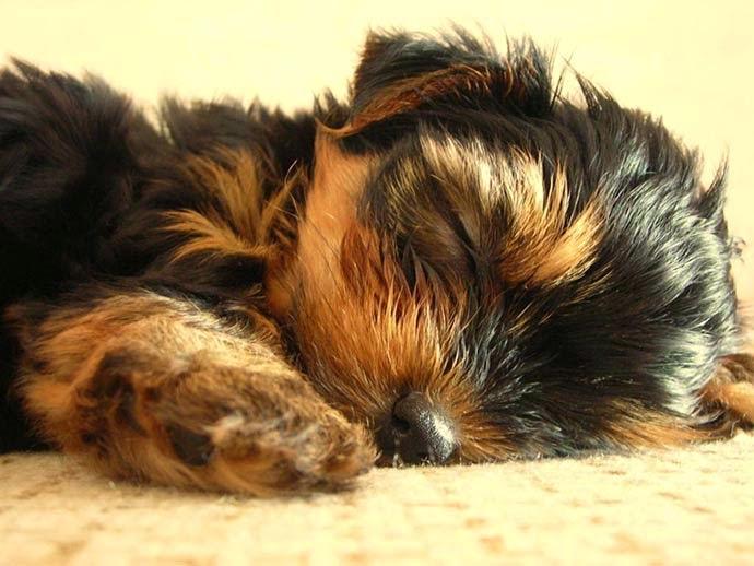 3 maravilhosos cães de companhia - Yorkshire Terrier