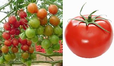 Manfaat Buah Tomat Untuk Kesehatan Perlu di Ketahui