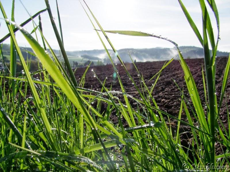 Gräser im Morgentau