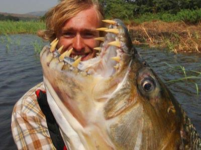 golden tiger fish