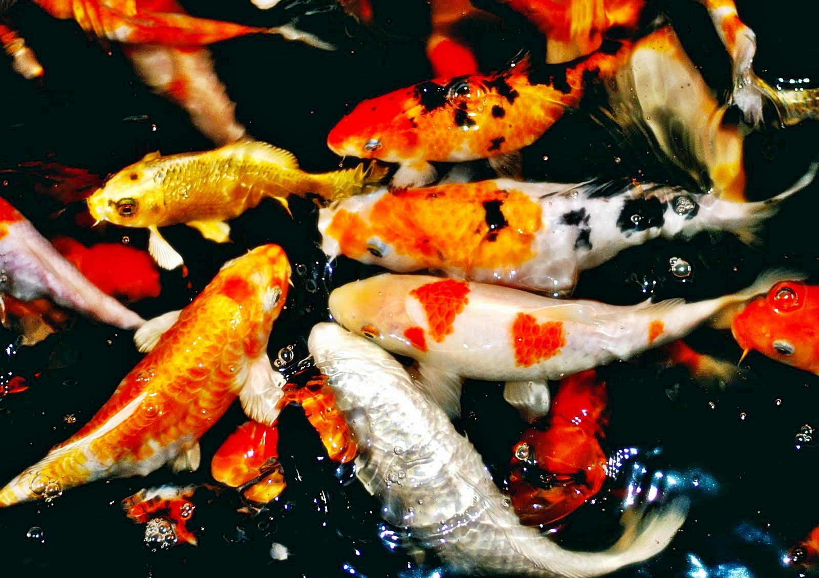 cara memberikan pakan ikan koi akuariumhias berikan makan ikan koi