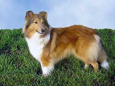 Top 10 Worlds Smartest Dog Breeds shetland sheepdog