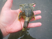 Buffalo Sculpin