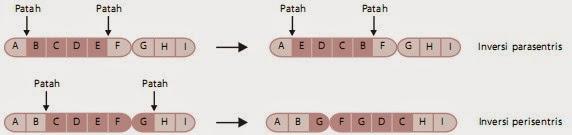 Inversi parasentris dan perisentris yang terjadi pada kromosom