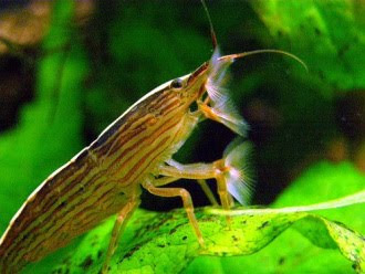 Mr Jeffs Diary: Pet - Singapore Shrimp