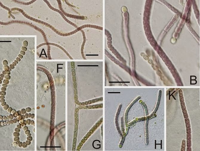 http://sciencythoughts.blogspot.co.uk/2014/04/a-new-species-of-cyanobacteria-from.html