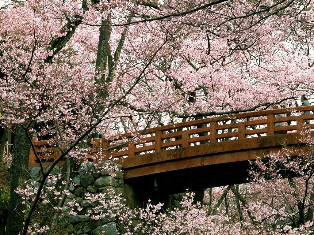 Cherry-Blossom-Wallpapers-cherry-blossom-25312463-1024-768.jpg
