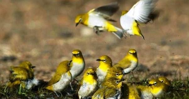 Budidaya Burung Burung Pleci Atau Burung Kacamata