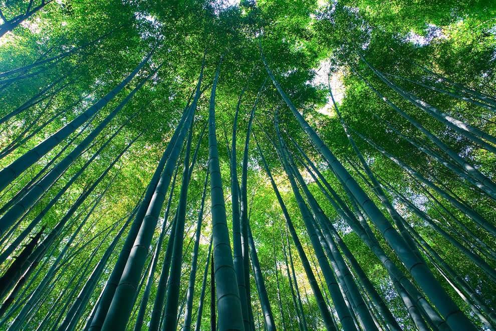 Sagano bamboo forest in Arashiyama, Kyoto