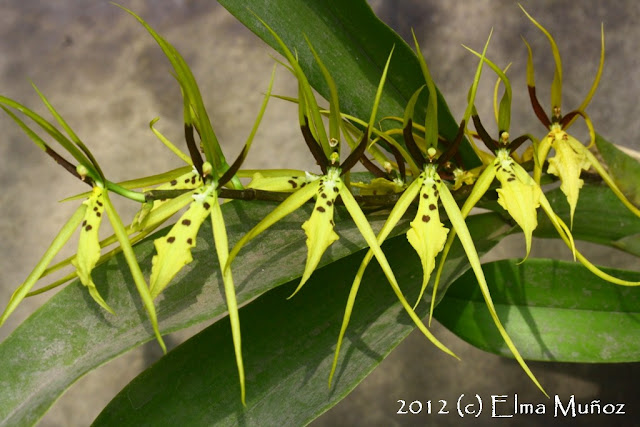 Brassia wagneri