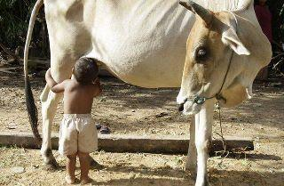 funny picture: child milking cow
