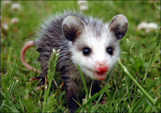 Cute Possum Images 2013 | Funny And Cute Animals