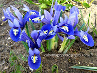 Iris reticulata-blue Dwarf Irises
