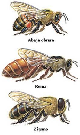 Tipos de abeja (abeja obrera, abeja reina y abeja zágano)