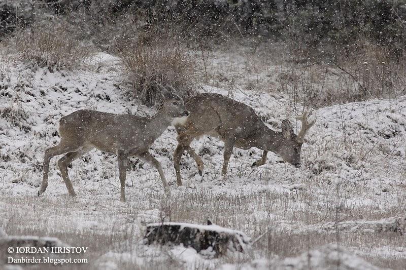 Roe Deer by Iordan Hristov