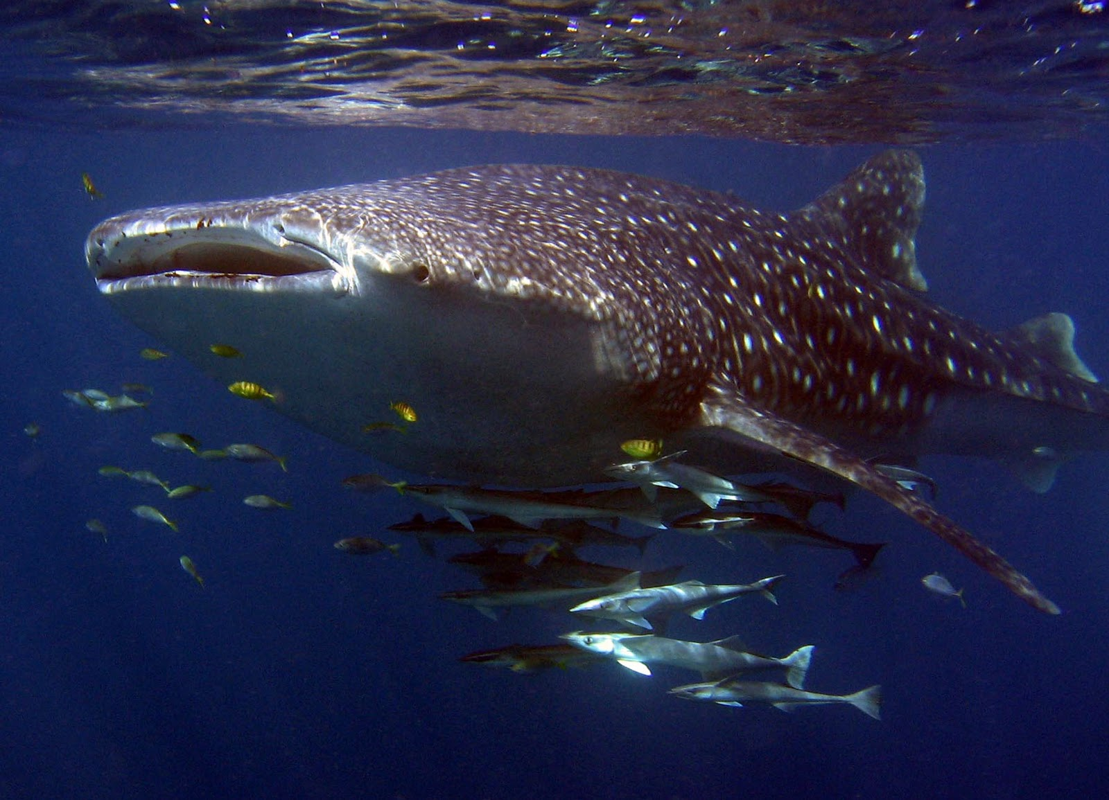 Giant Whale Shark http://javabackpacker.blogspot.com/2011/12/whale-sharks-giant-swimmer-at.html