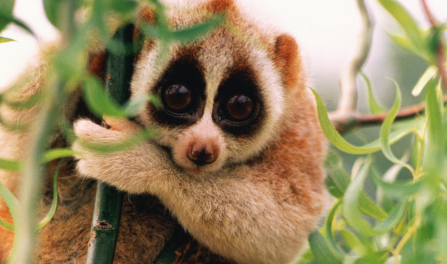 Conservation ecology downfall of the slow loris - Animal mignon ...