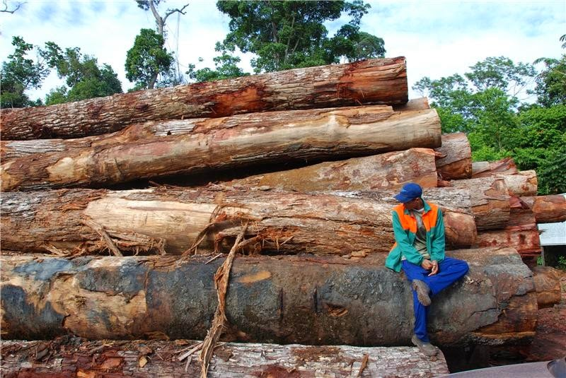 Logging. The human impact on the Amazon rainforest has been grossly underestimated according to an international team of researchers from Brazil and the UK, led by Lancaster University. (Credit: Jos Barlow) Click to enlarge.