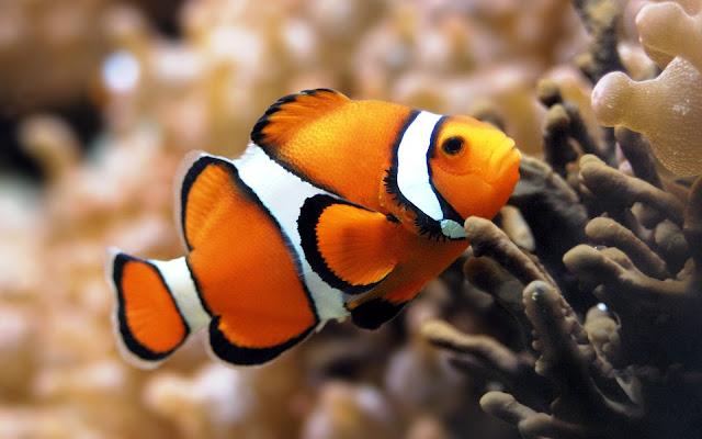 Imagenes de Peces pez payaso en Arrecifes de Coral Nemo