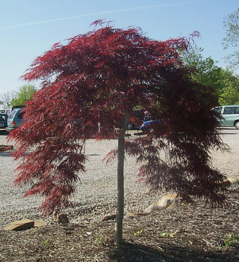 Some popular Japanese Maple
